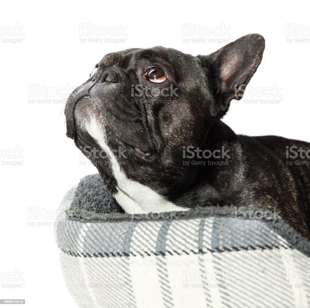 French bulldog lying in bed close-up royalty-free stock photo