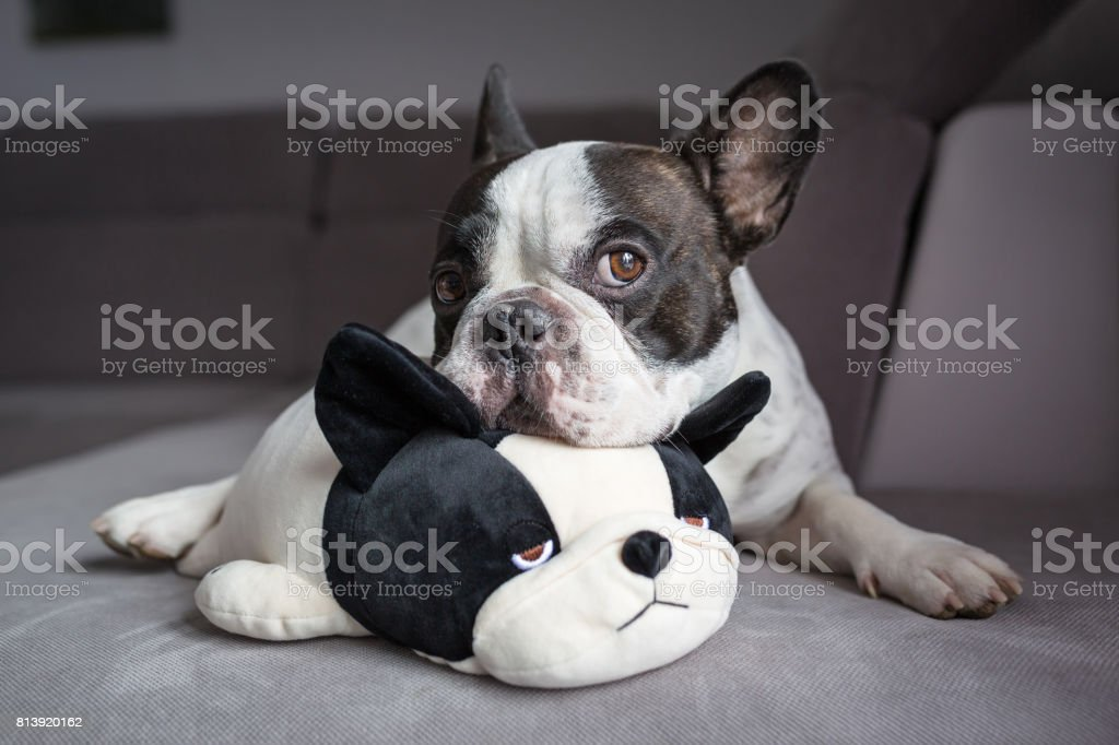 French bulldog lying with his teddy stock photo