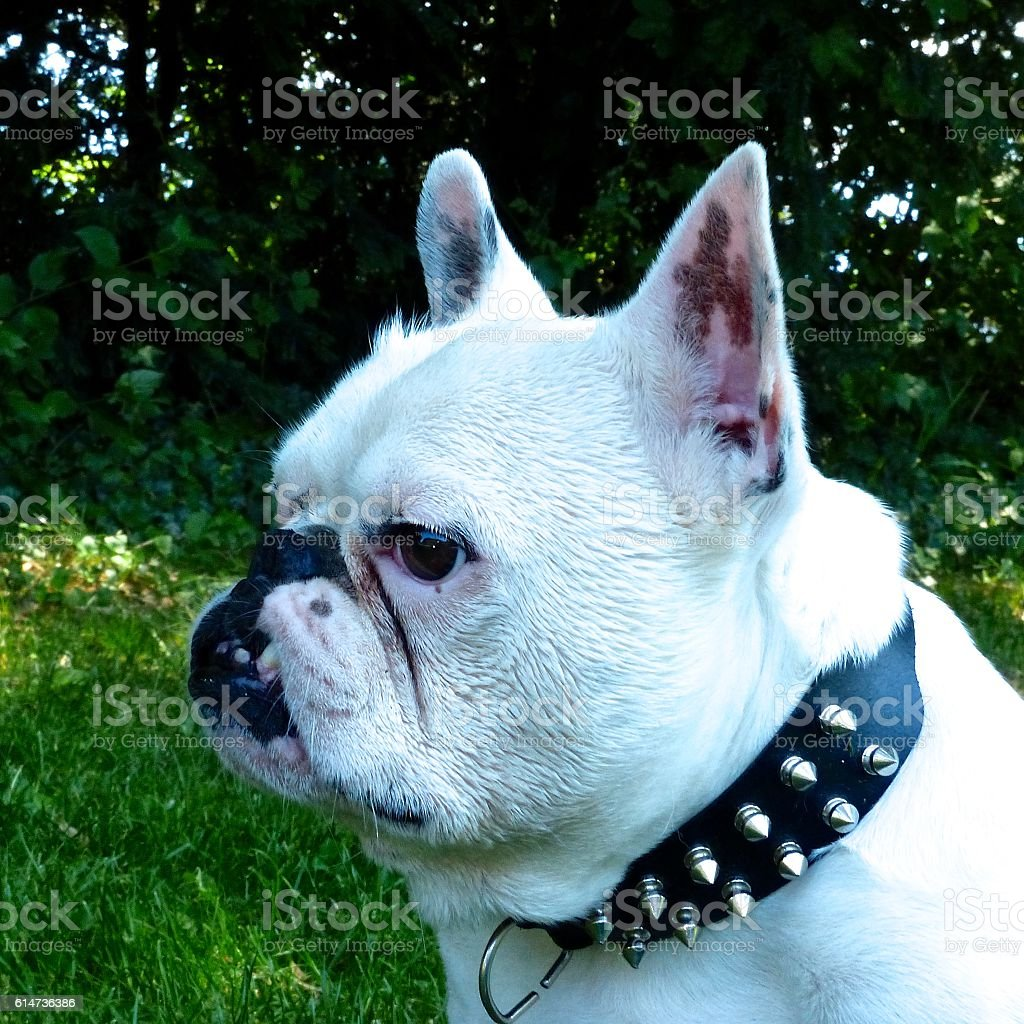 Bouledogue français, vairon, oeil bleu stock photo