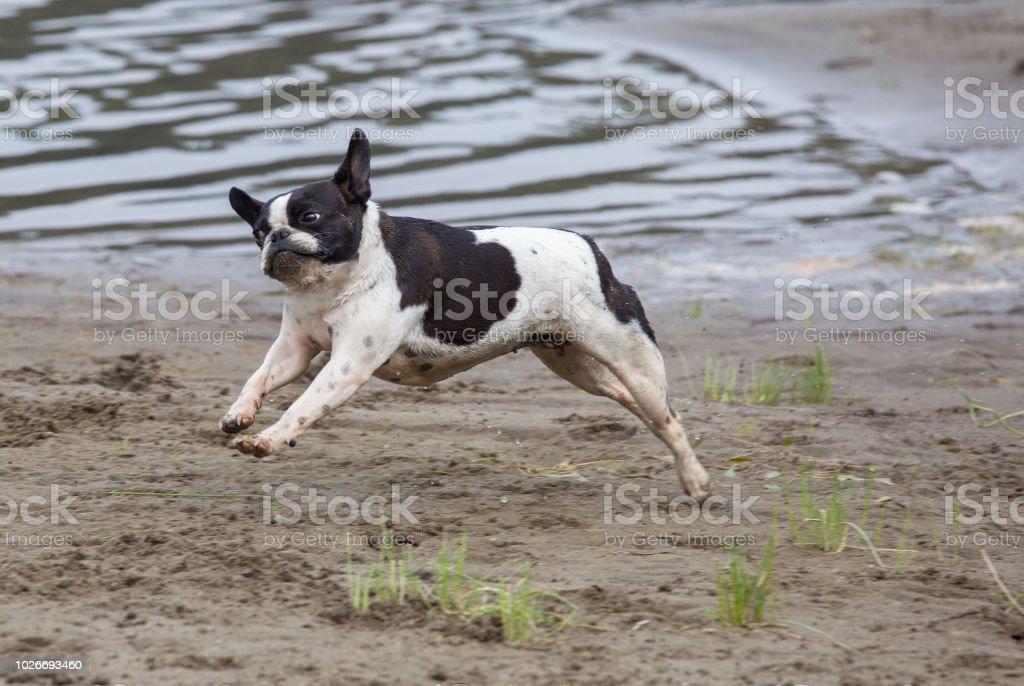 Franzosische Bulldogge Mix Boston Terrier Stockfoto Und Mehr