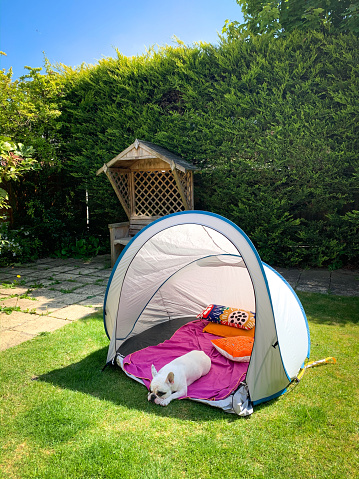 Frenchie dog resting camping tent set in home garden, England