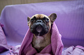 French bulldog sitting on a purple covered couch