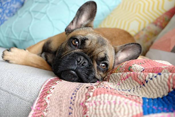 Resultado de imagen para french bulldog sofa