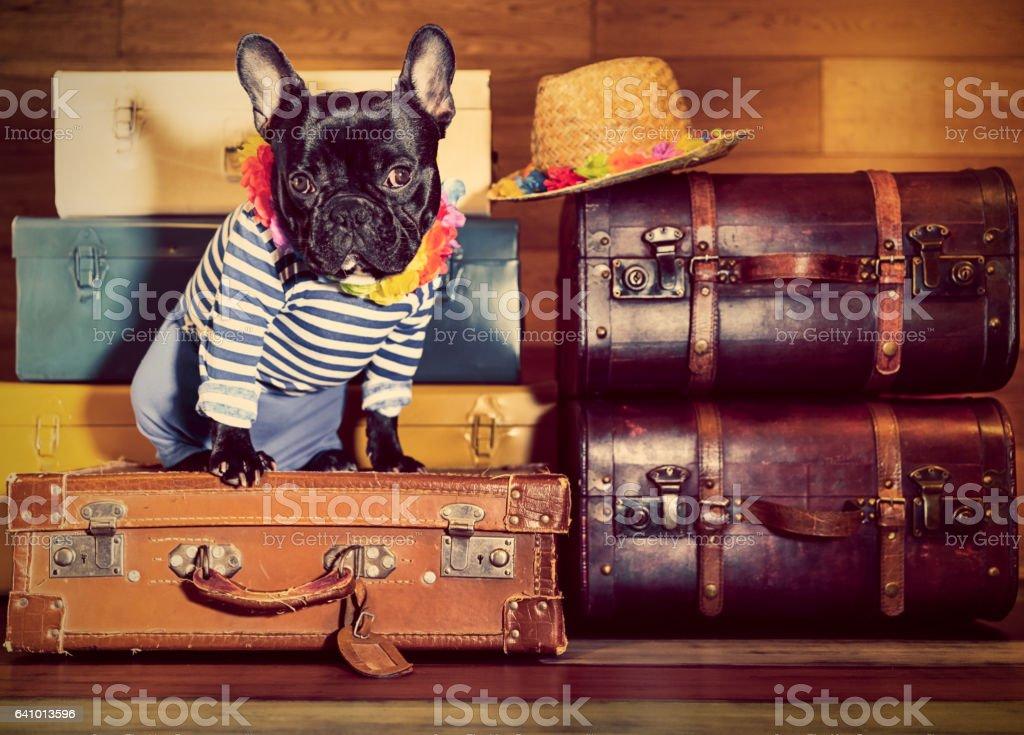 French Bulldog on suitcases stock photo
