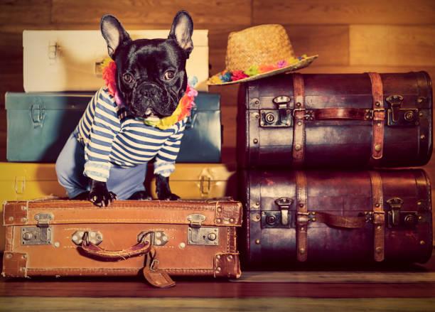 bouledogue français sur les valises - valise humour photos et images de collection