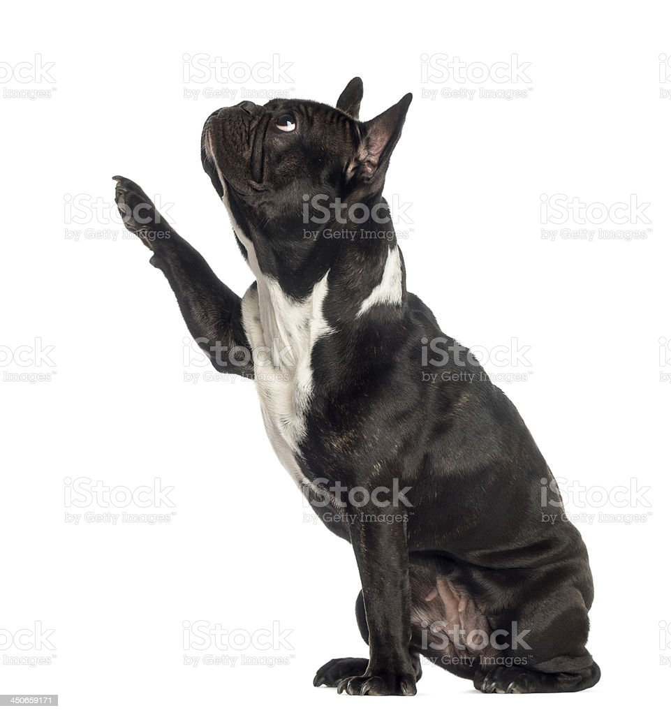 French Bulldog pawing up, isolated on white stock photo