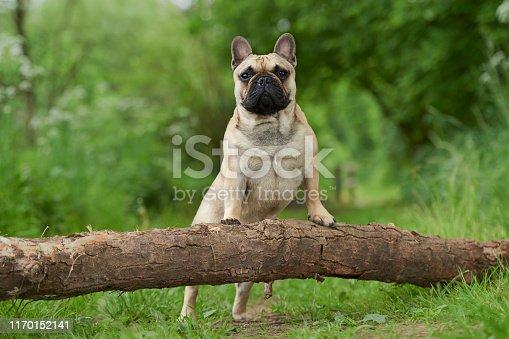 French bulldog enjoying outdoor live