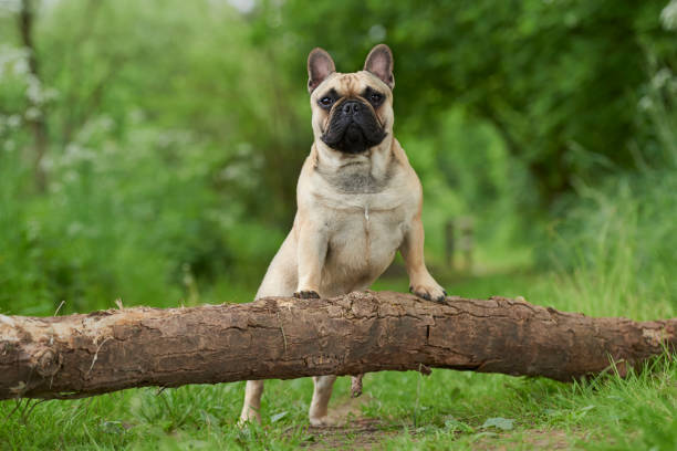 French Bulldog French bulldog enjoying outdoor live french bulldog stock pictures, royalty-free photos & images