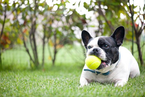 french bulldog french bulldog is playing tennis ball in the garden french bulldog stock pictures, royalty-free photos & images
