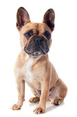 portrait of a purebred french bulldogin front of white background
