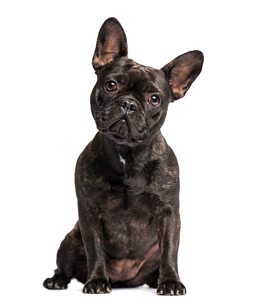 French Bulldog (1 years old) French Bulldog (1 years old) french bulldog stock pictures, royalty-free photos & images