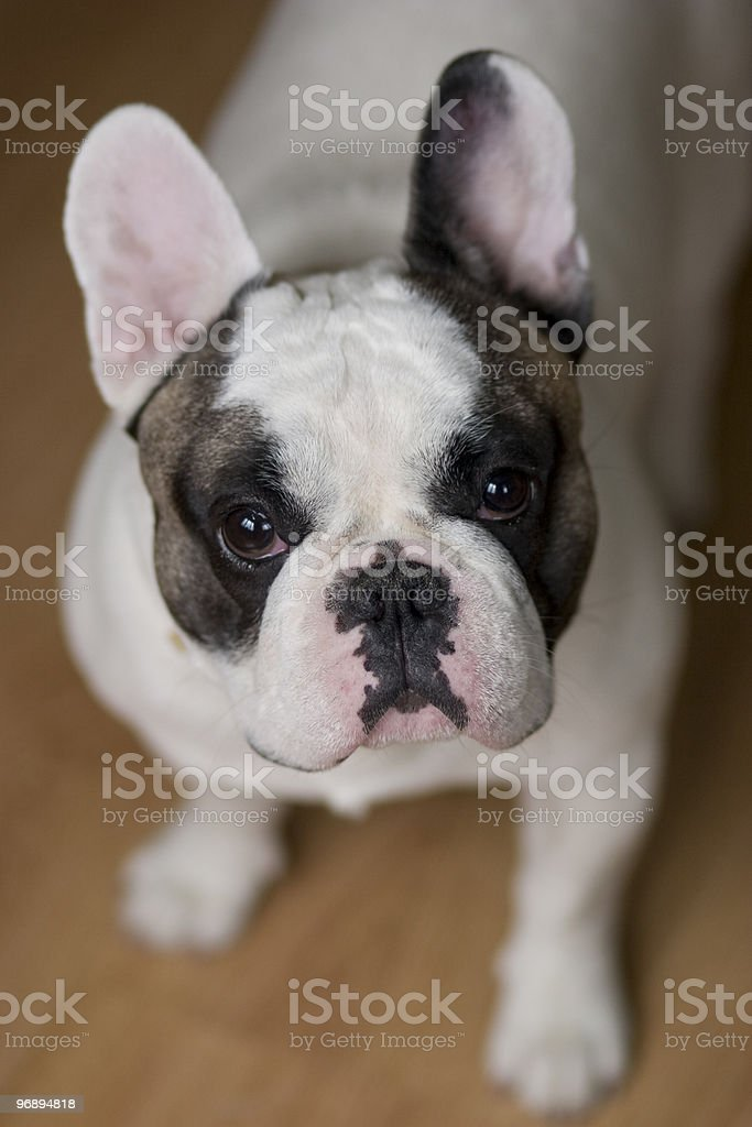 French Bulldog royalty-free stock photo