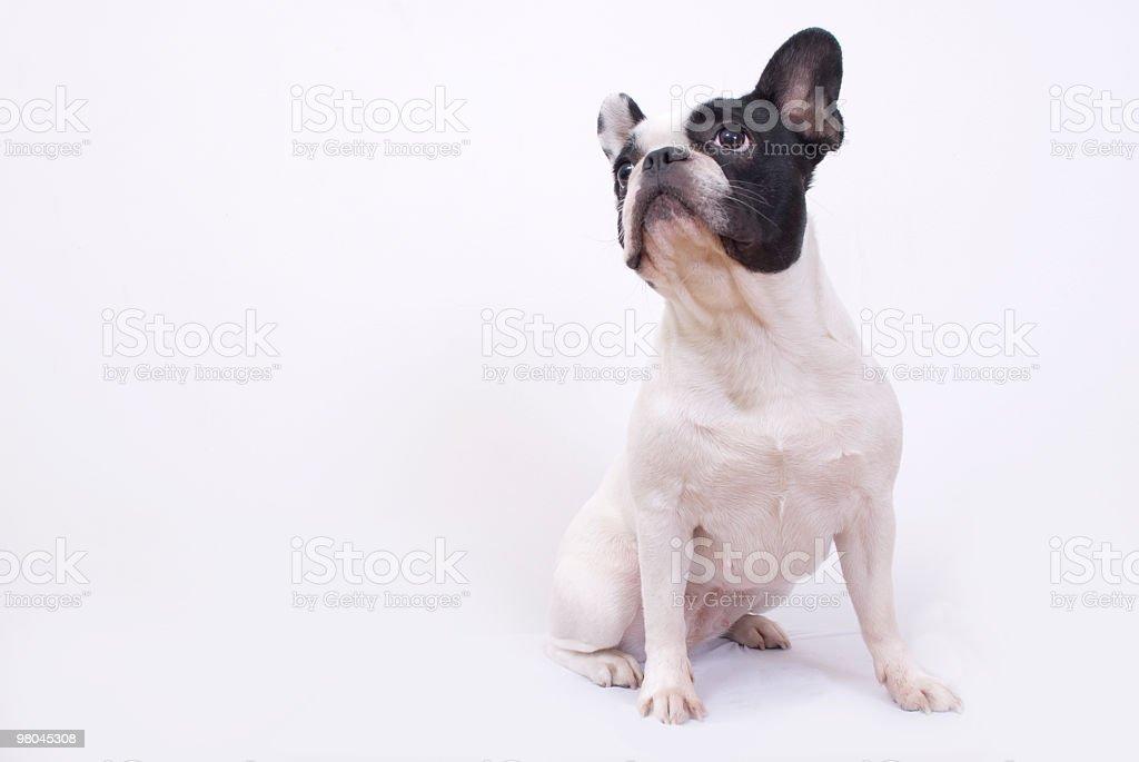 Bulldog francese foto stock royalty-free
