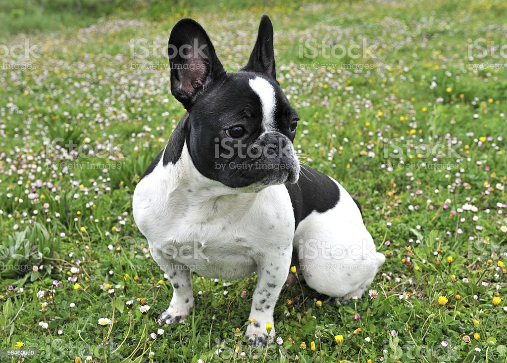 french bouledogue royalty-free stock photo