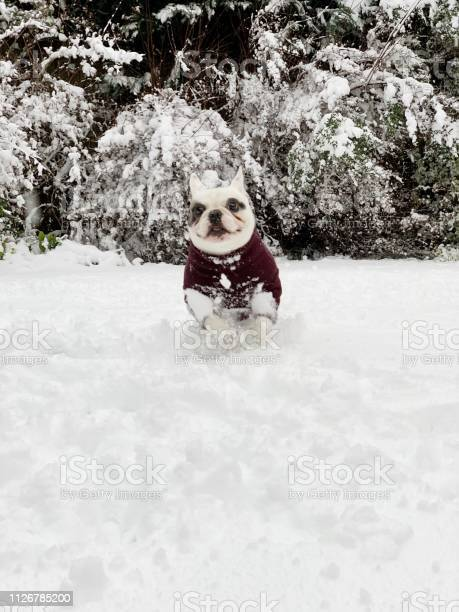 French bulldog playing in snow picture id1126785200?b=1&k=6&m=1126785200&s=612x612&h=7j3cvvgnrnfz5mzeo qh18a2uxmmxxupmot5gy4muba=