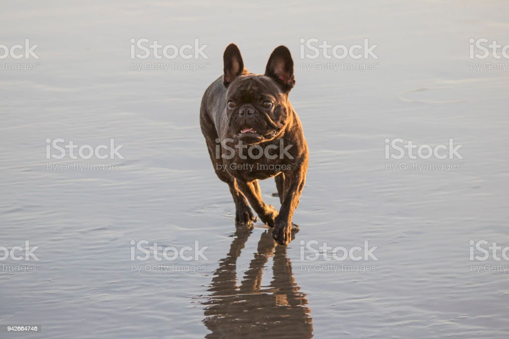 French Bulldog Playing on the Beach stock photo