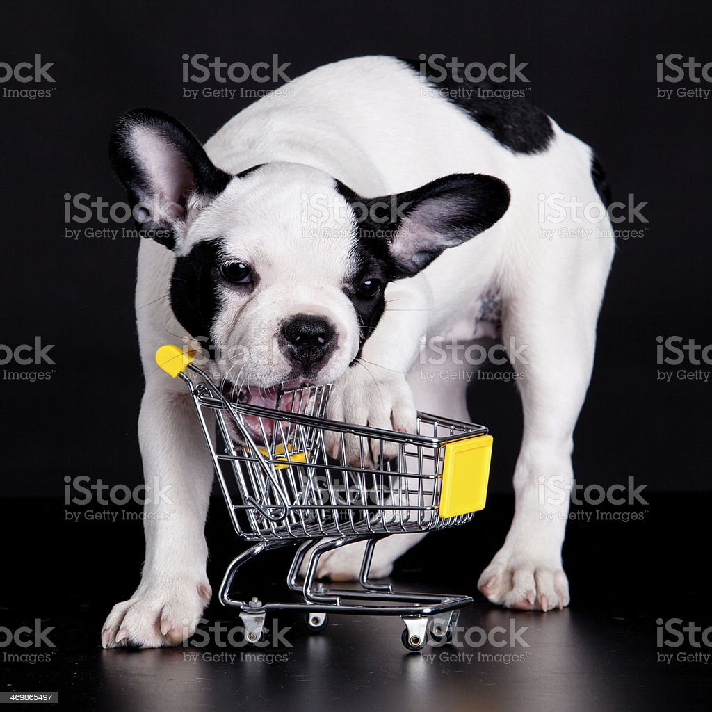 French Bulldog  playing with a supermarket cart. Funny little do stock photo