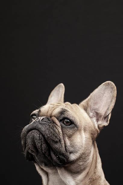 French bulldog portrait picture id478231400?b=1&k=6&m=478231400&s=612x612&w=0&h=qsq1guvybxctpnoiqezjt1txzs826ujkcahi0jy9lyi=