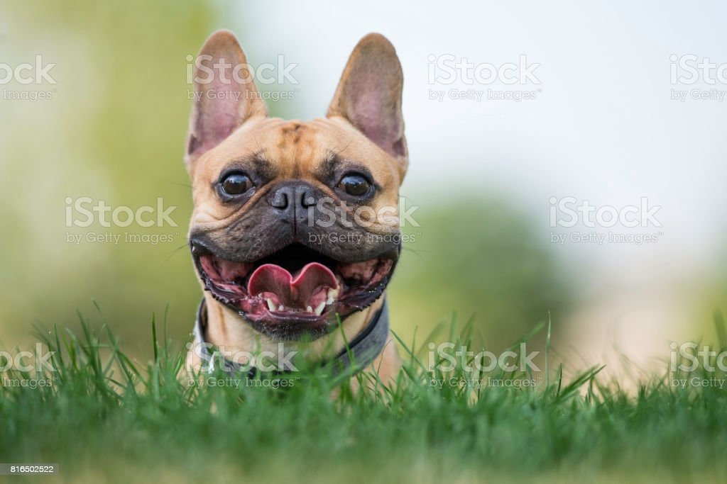 Frenchie Dog Stock Photo from iStock