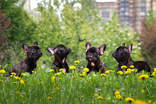 French Bulldog Puppies in a city park