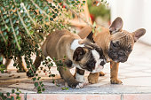 Two cute French Bulldog puppies on patio.