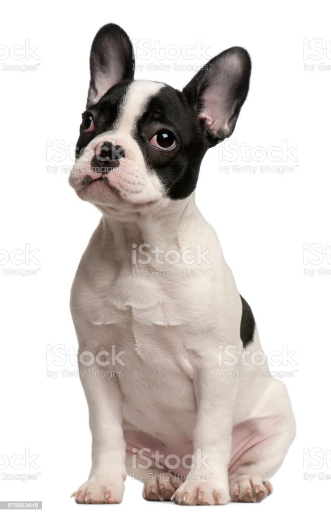 French Bulldog puppy, 3 and a half months old, sitting in front of white background stock photo