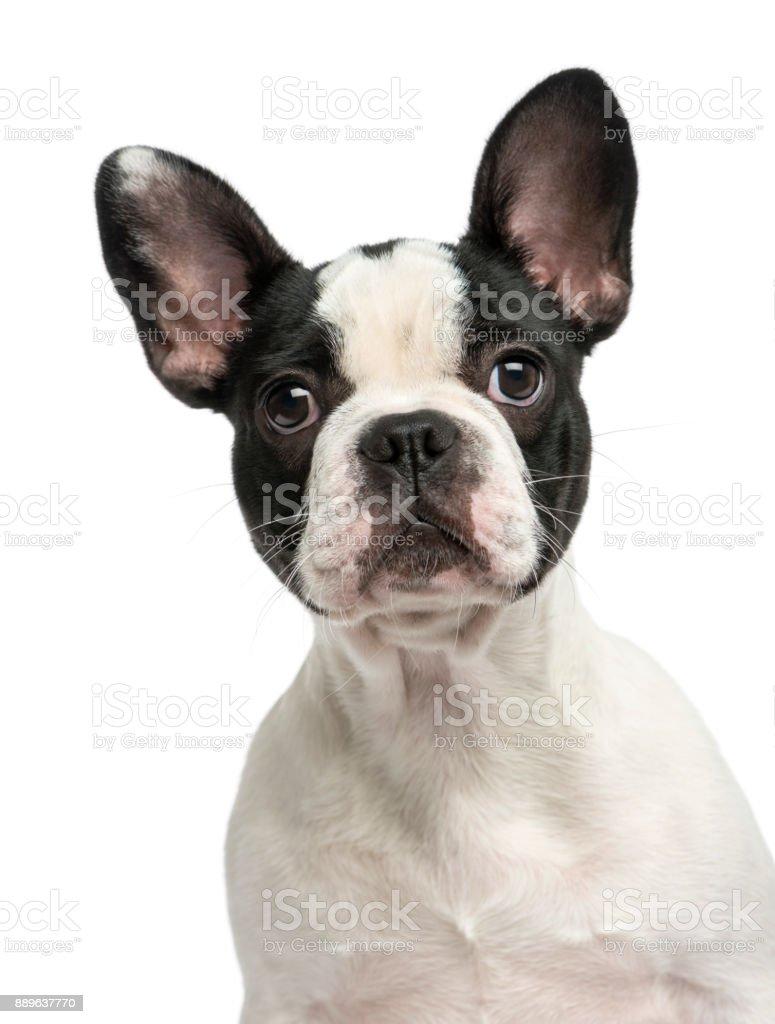 Franse Bulldog Puppy 4 Maanden Oud Geisoleerd Op Wit Stockfoto En Meer Beelden Van Belgie Istock