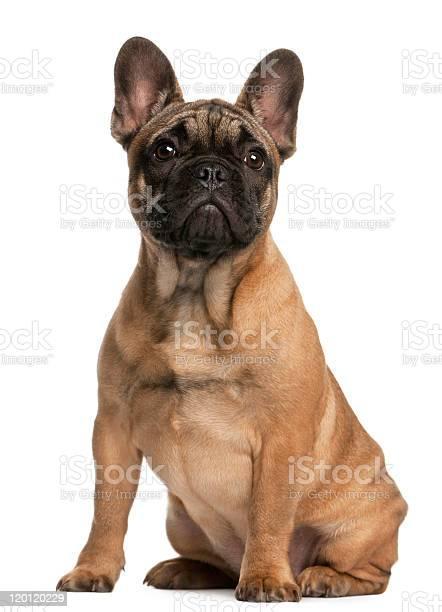 French bulldog puppy 4 months old sitting white background picture id120120229?b=1&k=6&m=120120229&s=612x612&h=suwj7vmgc4i1cbpnmkakgskptznher xti933xufe98=