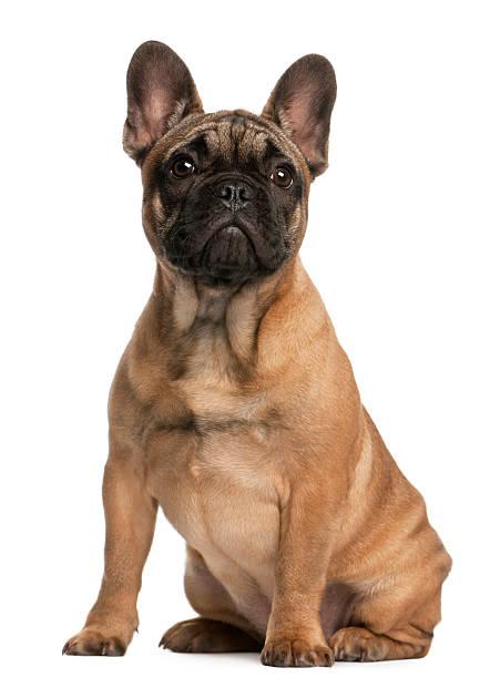 French bulldog puppy 4 months old sitting white background picture id120120229?b=1&k=6&m=120120229&s=612x612&w=0&h=fzpn58xbtdxhag udrwzzowglv yvbbc pcaxgl5pnm=