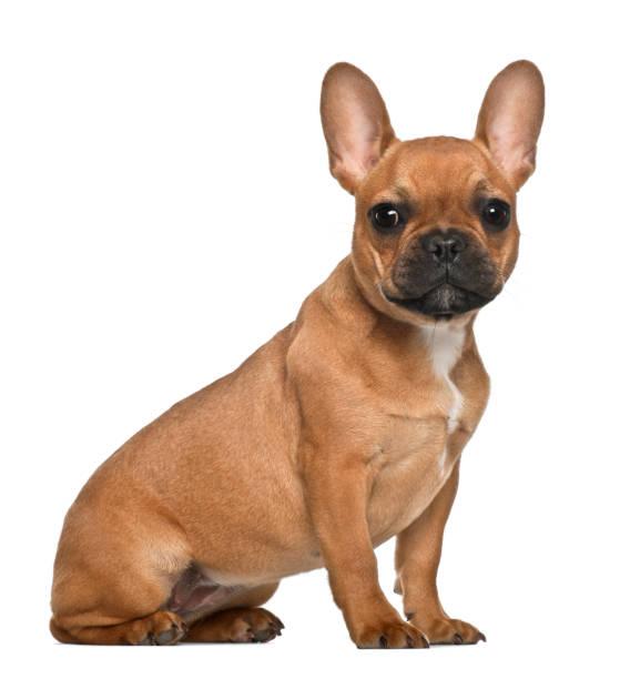 French bulldog puppy 5 months old sitting against white background picture id981718206?b=1&k=6&m=981718206&s=612x612&w=0&h=plvlduaezhtrgqvit1iuod2ujujeiwumlc3kjooerp8=