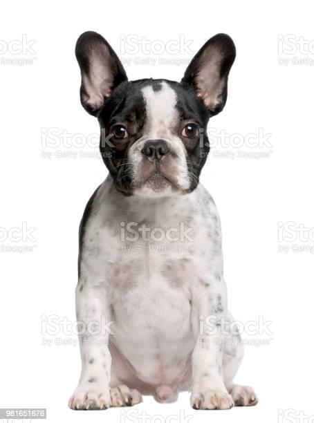 French bulldog puppy 5 months old sitting in front of white picture id981651676?b=1&k=6&m=981651676&s=612x612&h=w05upw87gidplqoioc9lkbewkvex0ygq9ovov2 ucz8=