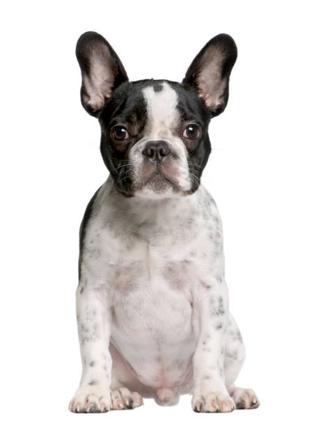 French bulldog puppy 5 months old sitting in front of white picture id981651676?b=1&k=6&m=981651676&s=612x612&w=0&h=jeuc4mklx88kxai6ihmrv8y2o3qihccipfq8a2vxmme=
