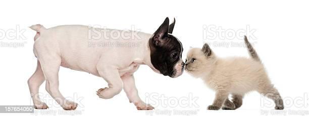French bulldog puppy and british shorthair kitten sniffing each other picture id157654050?b=1&k=6&m=157654050&s=612x612&h=oqlsfwdpdqq eg7p kivz ymeeom30jrkhifspud9ls=