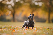 French bulldog puppy in the park autumn background