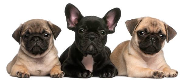 French bulldog puppy between two pug puppies 8 weeks old in front of picture id855890816?b=1&k=6&m=855890816&s=612x612&w=0&h=0fmhoppeujvaehiygfhpafatke1rr3kal7palgp3sly=