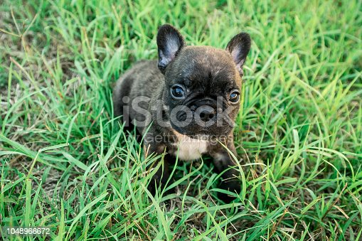 French Bulldog Puppy Brown with a lovely face in the grass