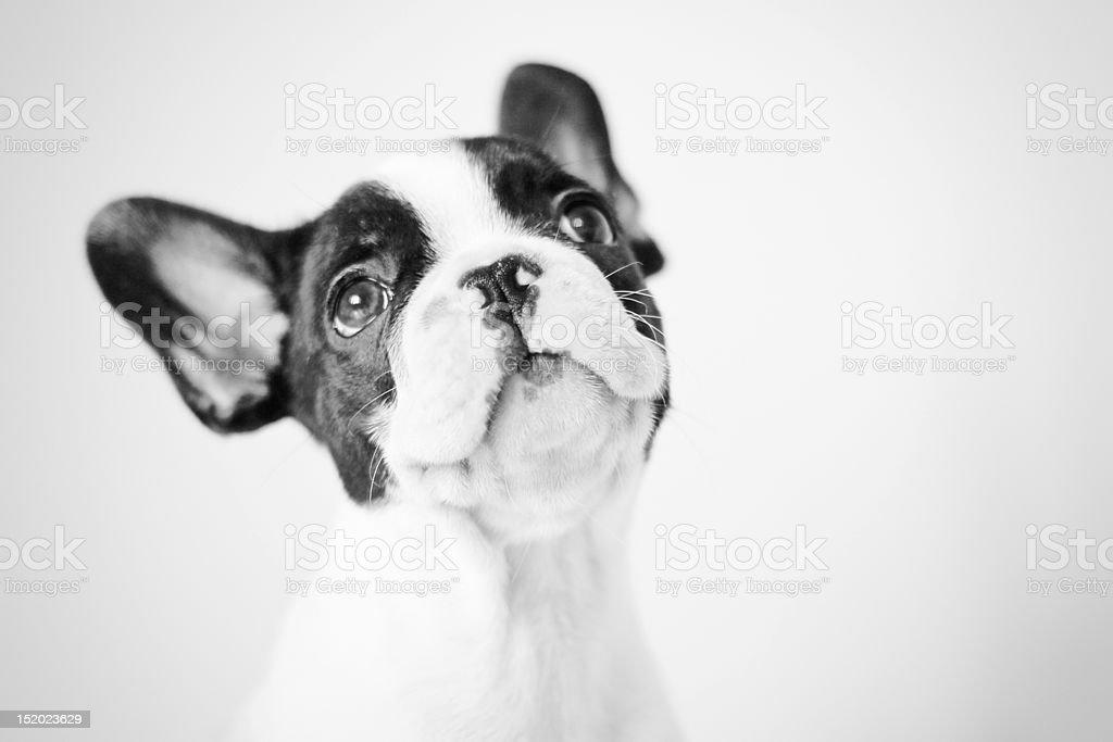 French bulldog puppy - dreamer stock photo