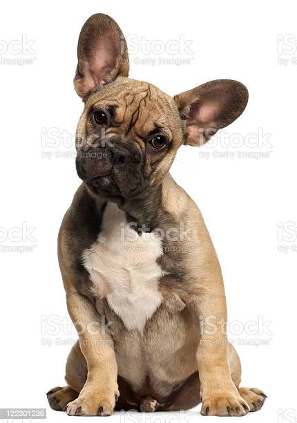 French bulldog puppy five months old sitting white background picture id122301236?b=1&k=6&m=122301236&s=612x612&h=mtyg1ipu9nx38rinyj8x4owdyoy7gmtuvtneqg5hrwu=