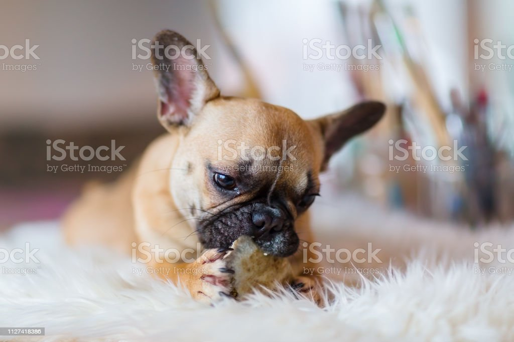 French Bulldog Puppy Gnaws At Dog Food Stock Photo Download Image Now Istock