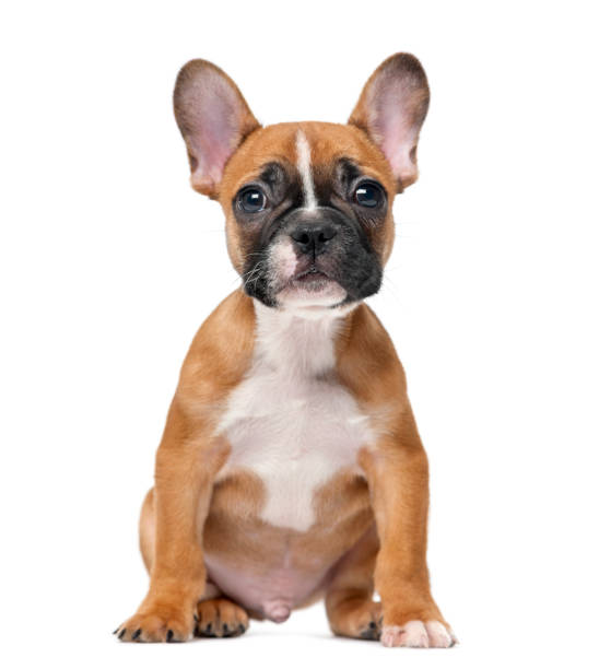 French bulldog puppy in front of a white background French bulldog puppy in front of a white background french bulldog stock pictures, royalty-free photos & images