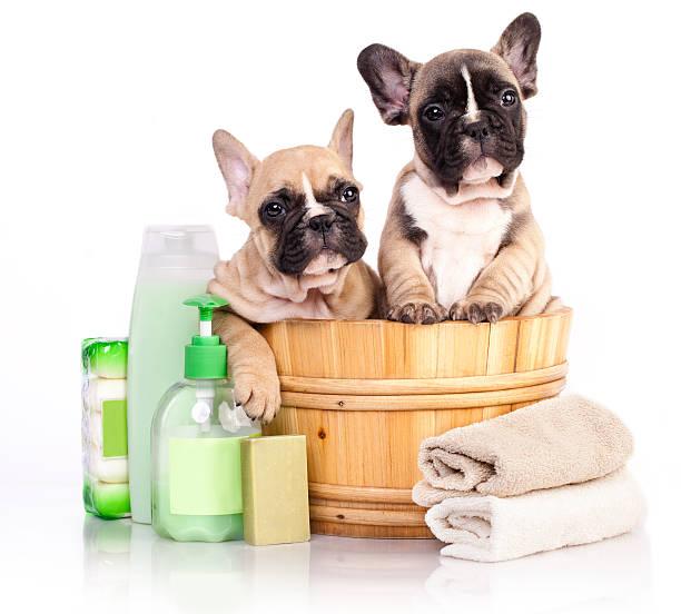 bulldog francese cucciolo in legno di lavaggio - bacinella metallica foto e immagini stock