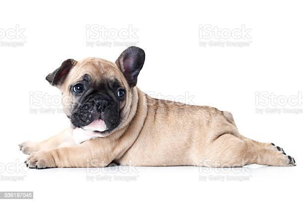 French bulldog puppy lying on white background picture id536197045?b=1&k=6&m=536197045&s=612x612&h=nivqcmp vuphxg5b1o ipxodkkf isb dgvlfqakjcc=