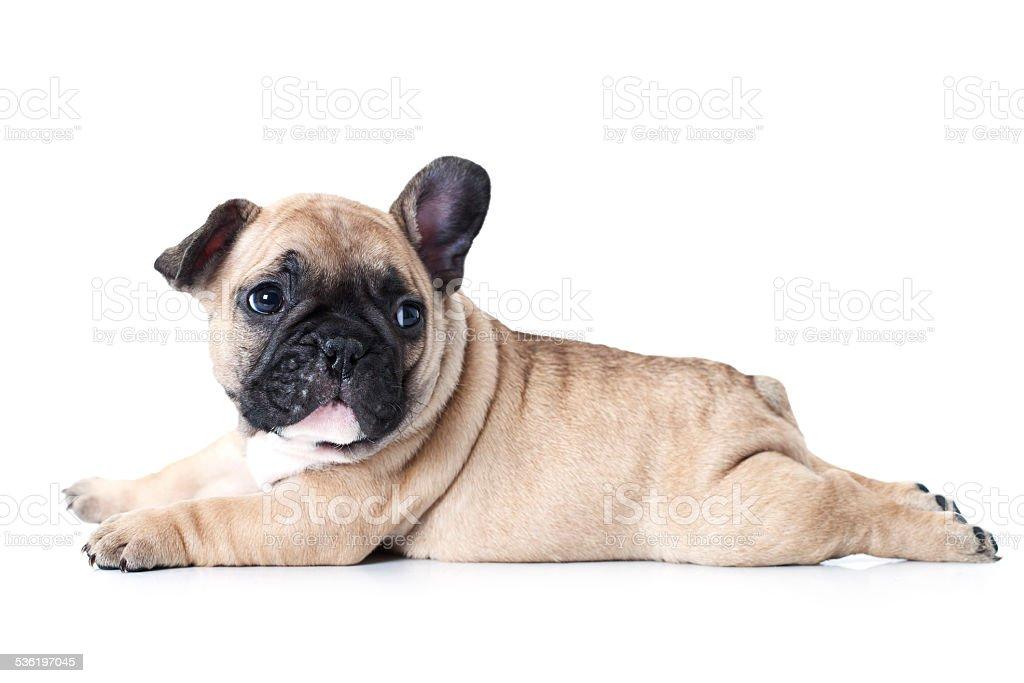 French bulldog puppy lying on white background stock photo