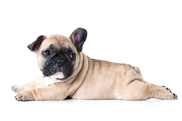 Französische Bulldogge Welpen auf weißem Hintergrund liegen – Foto