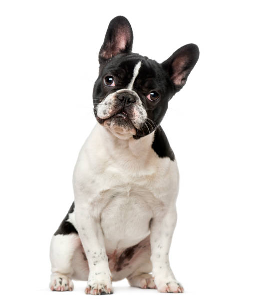 French Bulldog puppy (6 months old) French Bulldog puppy (6 months old) bulldog stock pictures, royalty-free photos & images