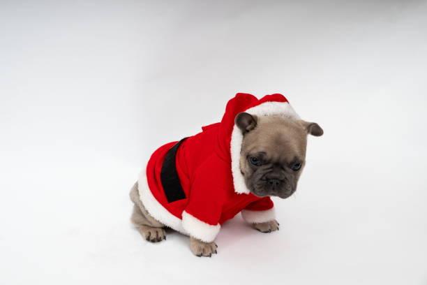 French Bulldog Puppy, stock photo