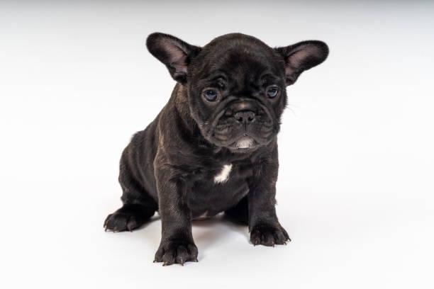 French Bulldog Puppy stock photo