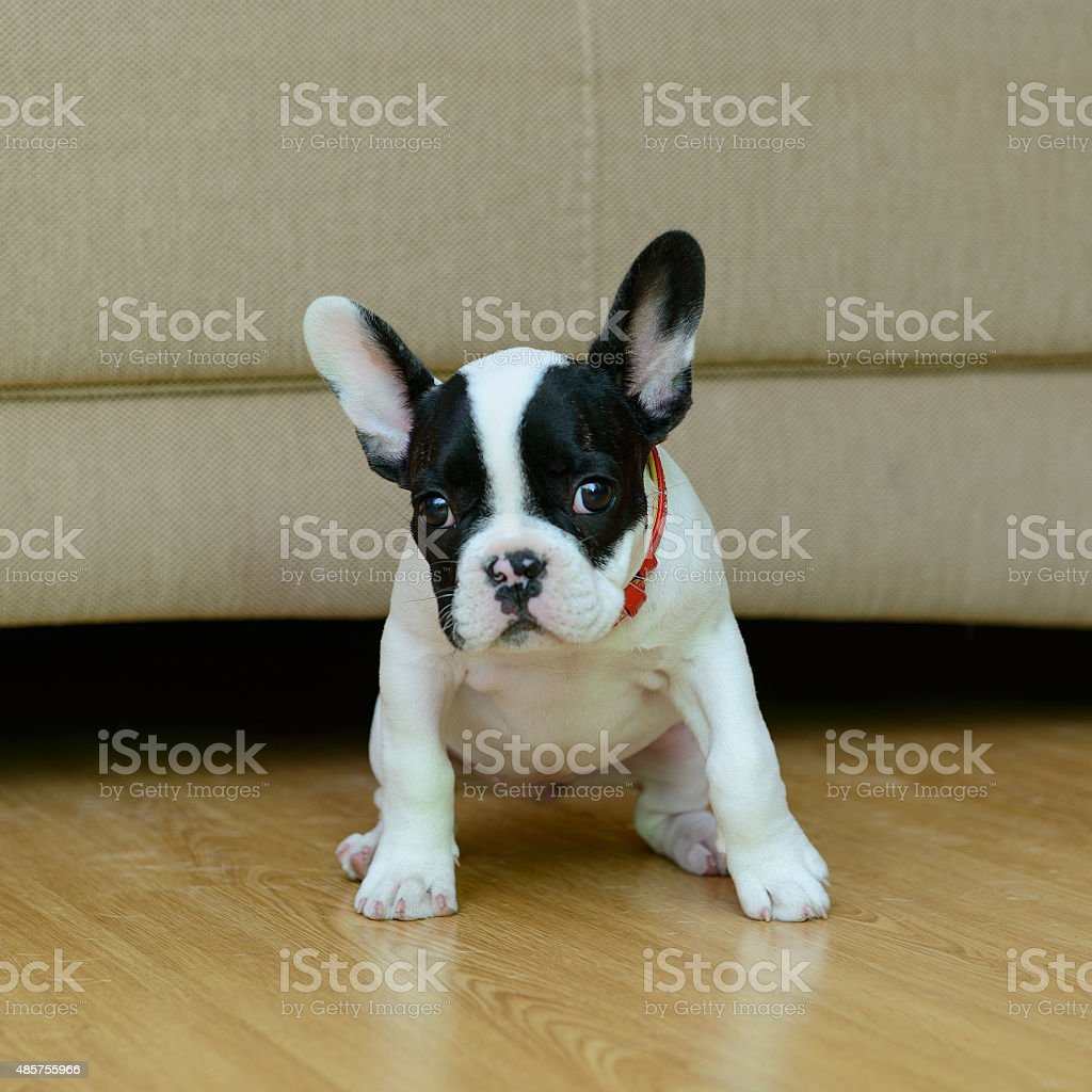 French Bulldog puppy royalty-free stock photo