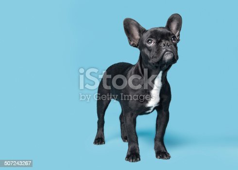 French Bulldog Puppy Looking Up On Blue Background