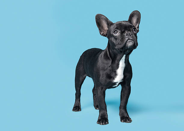 French Bulldog Puppy French Bulldog Puppy Looking Up On Blue Background french bulldog stock pictures, royalty-free photos & images